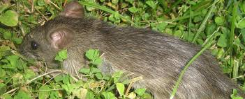 how to keep rats out of my garden