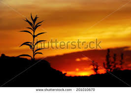 tall grass silhouette. Tall Grass Silhouette At Dramatic Golden Sunset C