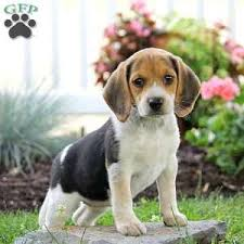 beagle puppies. Unique Beagle A Beagle Puppy Named Tanya On Puppies P