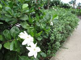 gardenia plant panions learn what to plant with gardenias