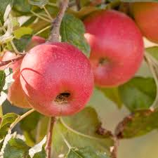 Arkansas Fruit Tree Production Tips  Apple Pear Peach NectarineFruit And Nut Trees