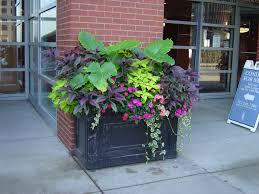 shaded patio plants elegant part sun to shade pot elephant ear coleus persian shield plant