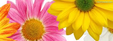 two pretty pink and yellow dasies spring facebook cover