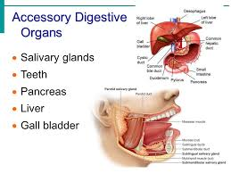 Accessory Organs Of The Digestive System New Chapter 32 Part 32 The Digestive System Ppt Video Online Download