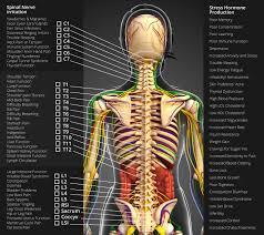 Back Nerve Chart Nerve Chart Oc Medical Integrated Physical Medicine