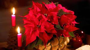Weihnachtsstern Pflegetipps Für Die Beliebte Pflanze