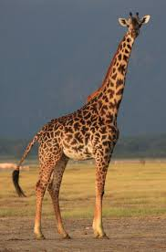 picture of a giraffe. Simple Picture Our Current Research Objective Is To Quantify The Fitness Consequences Of  Social Relationships Grouping Patterns And Natal Dispersal Using Giraffe As  Intended Picture Of A Giraffe R