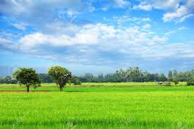 Rice Field Green Grass Blue Sky Cloudy Landscape Background Stock