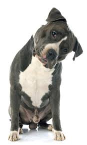 American Pitbull Terrier Feeding Chart The Best Dog Food For Pitbull Top Dog Foods For You To Try