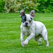 french bulldog full grown size. French Bulldog Personality Intended Full Grown Size