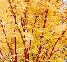 Japanese Maple Growth Chart Acer Palmatum Sango Kaku Coral Bark Maple