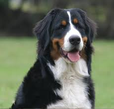 bernese mountain dog puppies. Unique Dog Dogs Bernese Mountain Dog  Main Image On Puppies I