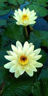 White Lotus Flower.jpg - Wikimedia Commons