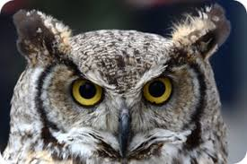 Image result for big eared brown owl south africa