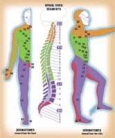 28 Ageless Free Dermatome Chart