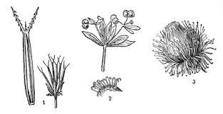 Распространение семян и плодов животными зоохория Биология  Цепляющиеся семена и плоды 1 плодики череды bidens 2 прицепки на семенах подмаренника galium aparine 3 соцветие лопуха
