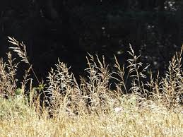 Deschampsia cespitosa ssp. cespitosa   California Flora Nursery