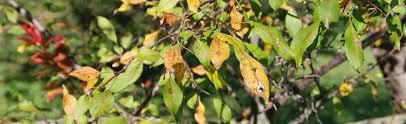 early leaf drop of apple tree
