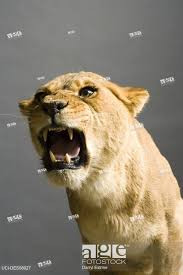 lioness roar front view. Perfect Lioness Stock Photo  Lioness Roaring In Roar Front View H