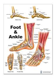 Foot Organ Chart Foot And Ankle Anatomical Poster Size 12wx17t