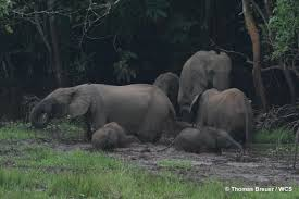 essays on wildlife conservation a trip down memory lane photo  of old forest elephant matriarchs threatens rainforests poaching of old forest elephant matriarchs threatens rainforests