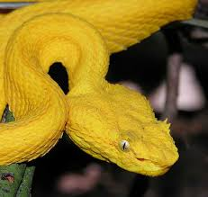 A viper has a stocky body, a wide head, and long, hinged fangs at the front of its mouth for injecting venom. Eyelash Viper Bothriechis Schlegelii The Virtual Rainforest By Gerald Urquhart