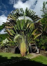 fan palm. fan palm