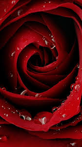 beautiful red rose wallpapers iphone 5 hd