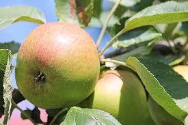apple tree leaves fruit plant part
