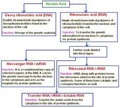 Functions Of Nucleic Acids Macromolecules