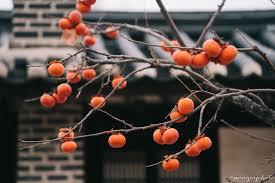 Có một mùa thu Hàn Quốc với những cây hồng trĩu quả chín đẹp mê đắm lòng  người