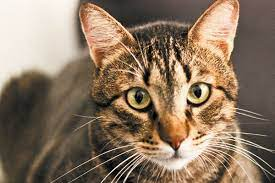 what exactly is a macl tabby cat