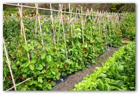 Small Picture Large Vegetable Garden Design Ideas decorating clear