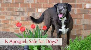 Is Apoquel Safe for Dogs With Allergies? - Chasing Dog Tales