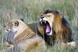 wild animals in african jungle. Brilliant African Wild Animal In African Jungle On Animals In African Jungle
