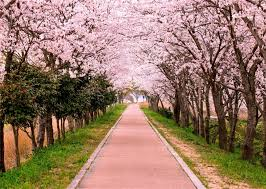 Cherry Blossom Backdrop Leowefowa 7x5ft Cherry Blossom Backdrop Nature Park Blooming Flowers Green Grass Gallery Spring Backdrops For Photography Romantic Girls Lover Wedding