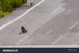 Lone Turtle Dove Flight Above Paved Stock Photo Edit Now 717385243