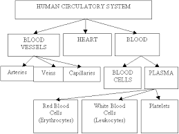 Human Blood Flow Chart Circulatory System Qld Science Teachers