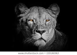 lioness black and white. Unique Lioness Lioness In Black And White With Lioness Black And White D