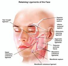 face anatomy facial anatomy 53 best facial anatomy images on pinterest facial