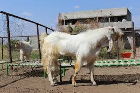 Dairy Goat Breeds Goat Breeds Kate Goat Farm