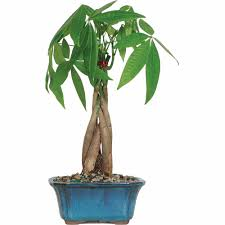 Decorative Indoor Trees Money Tree Bonsai Tree Walmartcom