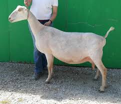 Adga Registered Lamancha Dairy Goats Terre Haute Indiana