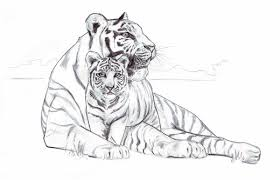 white tiger cubs drawing. Brilliant Drawing White Tiger Cubs Drawing  Photo4 Inside Tiger Cubs Drawing T