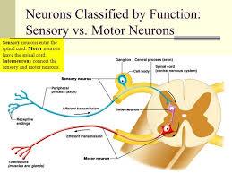 sensory and motor neuron