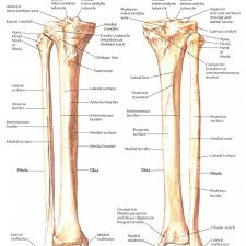 anatomy definition of medial body anatomy striated muscle definition of by medical dictionary