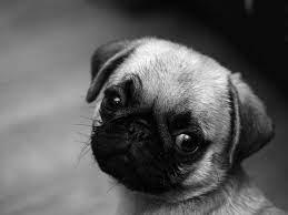 Cute Vodafone Dog Wallpaper Pug ...