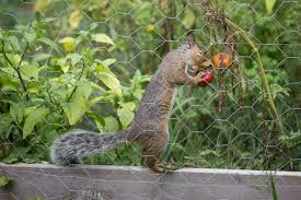 7 ways to keep squirrels from eating your tomatoes