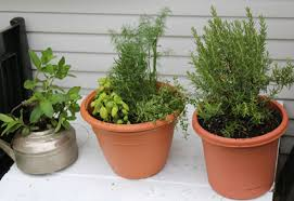 how to grow a herb garden. Growing Herbs In Pots How To Grow A Herb Garden T