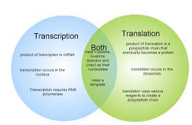 Venn Diagram Of Transcription And Translation Gliffy Diagram Transcription And Translation Venn Diagram